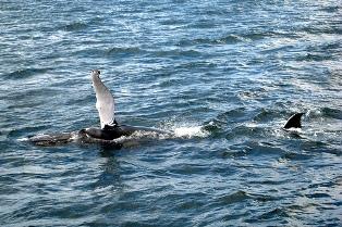 adopt a whale