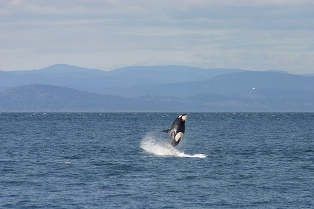 Whale Watching Anacortes